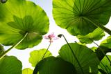 Lotus Rise up to the Sky Photographic Print by Liang Zhang