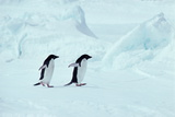ADELIE Penguins, ANTARCTICA Photographic Print by Chris Sattlberger