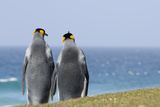 King Penguins Courting (Aptenodytes Patagonicus) Photographic Print by Daisy Gilardini