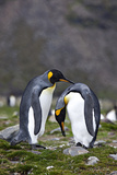 King Penguins Bonding on the Shores of South Georgia Islands, January 2008 Photographic Print by Don Grall