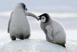 Pingviner Fotografisk tryk af David Yarrow Photography