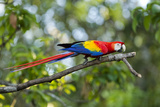 Scarlet Macaw, Costa Rica Photographic Print by Paul Souders