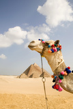 Camel in Desert with Pyramids Background Fotografisk tryk af Grant Faint
