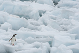 Gentoo Penguin among Ice Floes Photographic Print by Daisy Gilardini