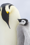 Emperor Penguins in Antacrtica Photographic Print by David Tipling