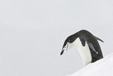 Chinstrap Penguins Photographic Print by Daisy Gilardini