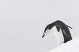 Chinstrap Penguins Photographic Print by Daisy Gilardini