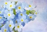 Forget Me Not on Blue Background Photographic Print by  egal