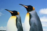 King Penguins (Aptenodytes Patagonicus), Falkland Islands Photographic Print by Kevin Schafer