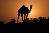 Camel Silhouetted in the Setting Sun. Photographic Print by Joe & Clair Carnegie / Libyan Soup