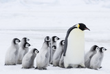 Emperor Penguin and Chicks (Aptenodytes Forsteri) Photographic Print by Daisy Gilardini