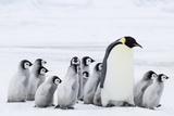 Emperor Penguin and Chicks (Aptenodytes Forsteri) Photographic Print by Daisy Gilardini