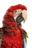 Close-Up of a Green-Winged Macaw Photographic Print by Life on White