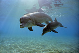 Juvenile Bottlenose Dolphin Photographic Print by Jeff Rotman
