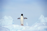 ADELIE PENGUIN (Pygoscelis Adeliae) Photographic Print by Frans Lemmens