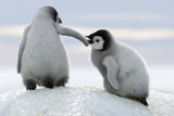 Emperor Penguin Chicks Photographic Print by David Yarrow Photography