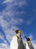 King Penguin Photographic Print by David Tipling