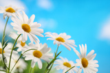 Daisy Flower against Blue Sky Photographic Print by Liang Zhang