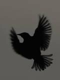 Black Bird Photographic Print by Bertrand Demee