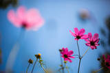 Cosmos Photographic Print by Jay's photo