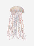Illustration of Pacific Sea Nettle (Chrysaora Fuscescens) Photographic Print by Dorling Kindersley