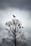 A Tree in Which Many Crows Have Rest Reproduction photographique par Hiroshi Watanabe