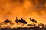 Misty Cranes Photographic Print by  mallardg500
