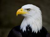 Eagle's Piercing Look Lámina fotográfica por Saffron Blaze