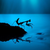 Silhouette of Praying Mantis on Blue Background Photographic Print by  twomeows