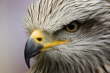 Eagle Photographic Print by javier balseiro