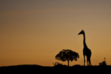 Masai Giraffe Walking across the Plains at Sunrise Photographic Print by Manoj Shah