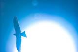 Blue Hawk in Sun Photographic Print by Copyright Phil Alcorn