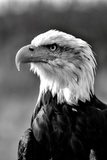 Bald Eagle in Black and White Fotodruck von Andrea & Tim photography