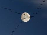 Cranes Flying to Moon Fotografisk trykk av Sebastian Schneider