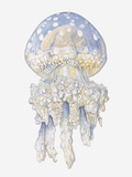 Illustration of Lagoon Jellyfish (Mastigias Papua) Photographic Print by Dorling Kindersley