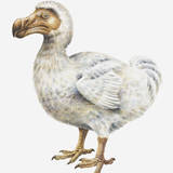 Illustration of a Dodo (Raphus Cucullatus) Photographic Print by Dorling Kindersley