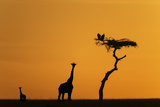 Female Giraffe with Baby at Sunrise Photographic Print by Mike Hill