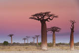 Baobab Trees, Madagascar Photographic Print by Mint Images/ Art Wolfe