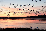 Snow Geese Flying at Dusk Photographic Print by Bill Swindaman
