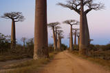 Baobab Trees, Madagascar Photographic Print by Mint Images - Art Wolfe