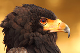 Male Bateleur Eagle in Head Shot. Photographic Print by Raj Kamal