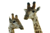 Two Giraffe Looking at Camera Photographic Print by Emil von Maltitz