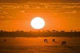 Africa, Botswana, Silhouette of Gemsbok Herd (Oryx Gazelle) at Sunset Photographic Print by  Westend61