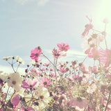 Sun Shining through Pink and White Flowers Photographic Print by Jodie Griggs