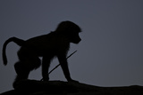 Baboon Baby Carrying a Stick Photographic Print by Manoj Shah