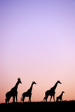 Giraffe at Sunset, Eastern Cape, South Africa Photographic Print by John Seaton Callahan