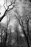 Forrest and the Sky, Black & White Photographic Print by Nicholas Campbell