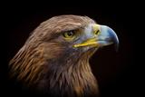 Golden Eagle Fotografiskt tryck av Peter Orr Photography