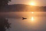 Loon, Cache Lake, Algonquin Provincial Park, Ontario, Canada Photographic Print by Janet Foster