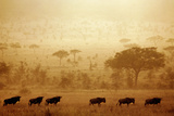 Wildebeest Crossing the Serengeti at Sunset Photographic Print by Alex Bramwell